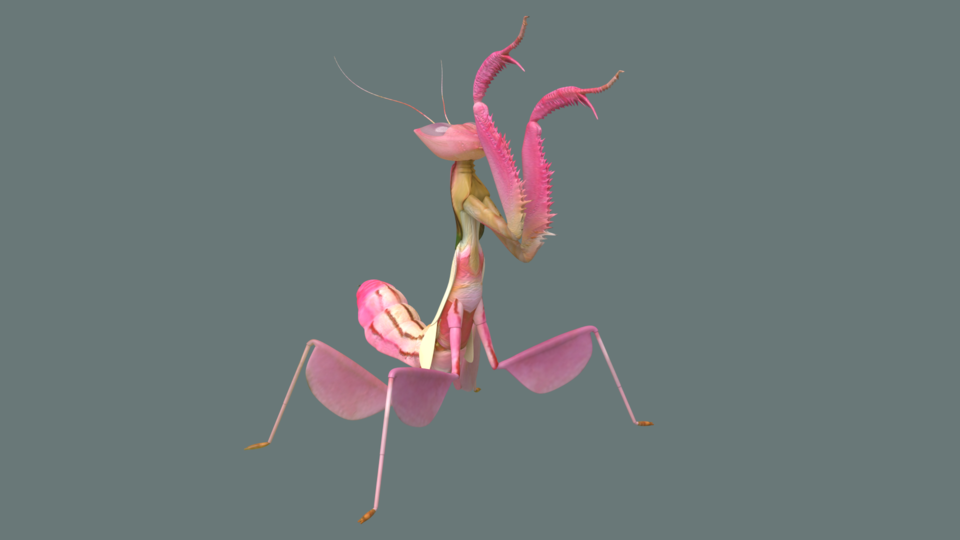 Orchid Praying Mantis 3d Cad Model Library Grabcad