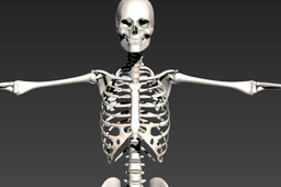 Human Skeleton used for a Parametric Gait Study