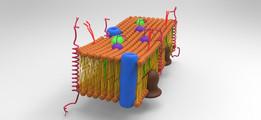 Cellular membrane