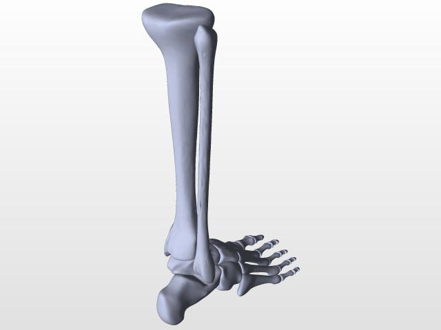 Tibia Bone 3d Cad Model Library Grabcad