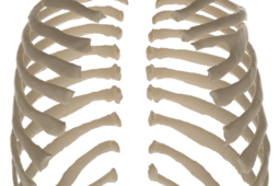 Adult Ribs from CT Scan   TRINOTA