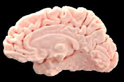 Brain - Right Hemisphere   TRINOTA