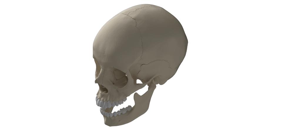 Human Skull | 3D CAD Model Library | GrabCAD