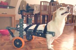 Wheelchair for Dachshund Dog